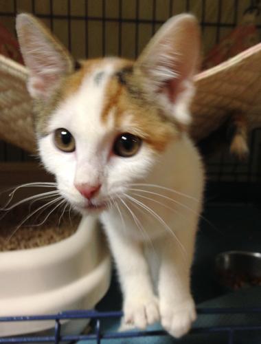 三毛猫のやんちゃ姫 リルちゃん参加します