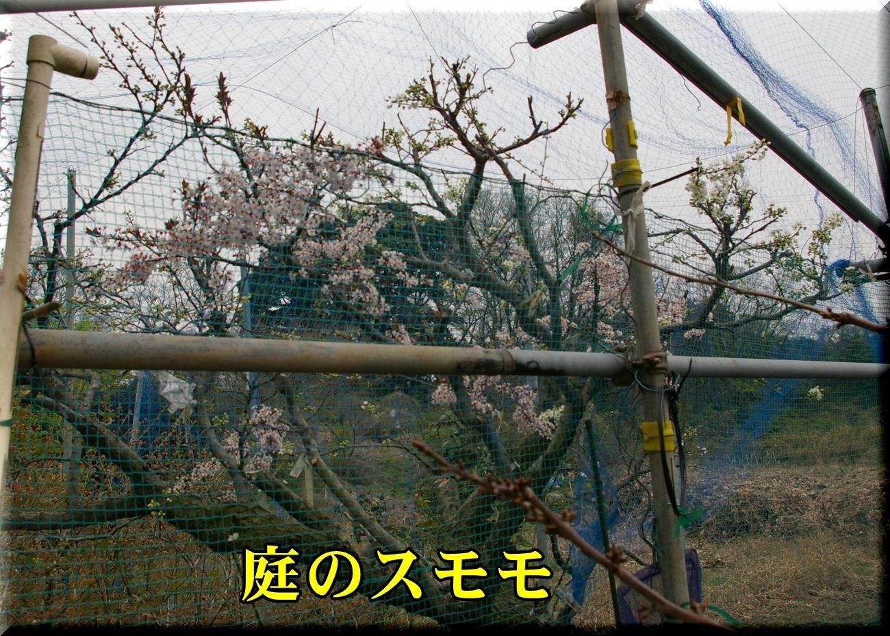 1niwa_sumo170331_036.jpg