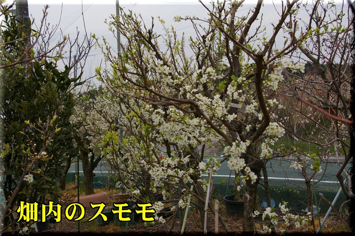 1sumomo170331_003.jpg
