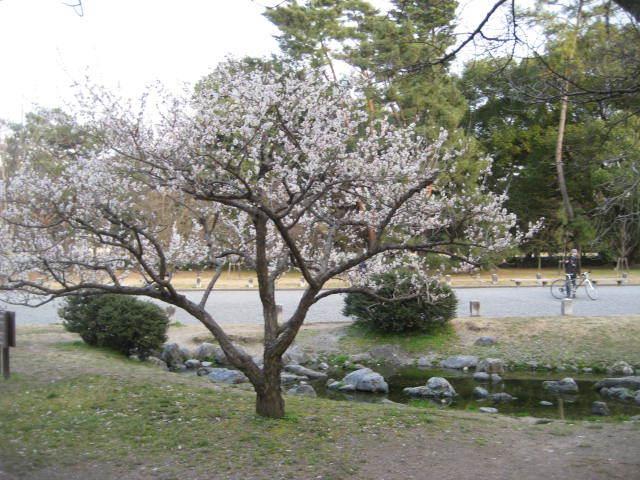 170225御所さんぽ⑧出水の小川の梅