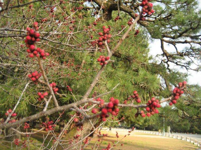 170225御所さんぽ①黒木の梅