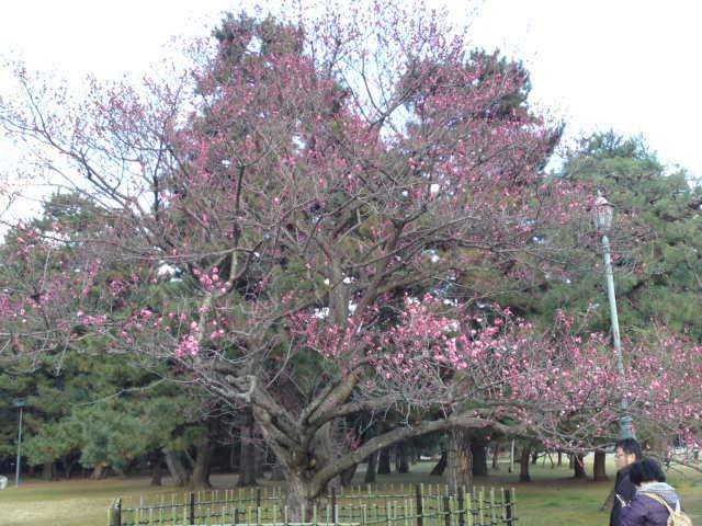 170311御所さんぽ①黒木の梅