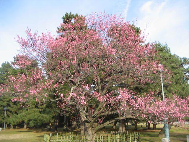 170316御所さんぽ①黒木の梅