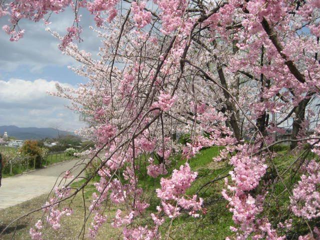 170413鴨川さんぽ㉛枝垂れ桜