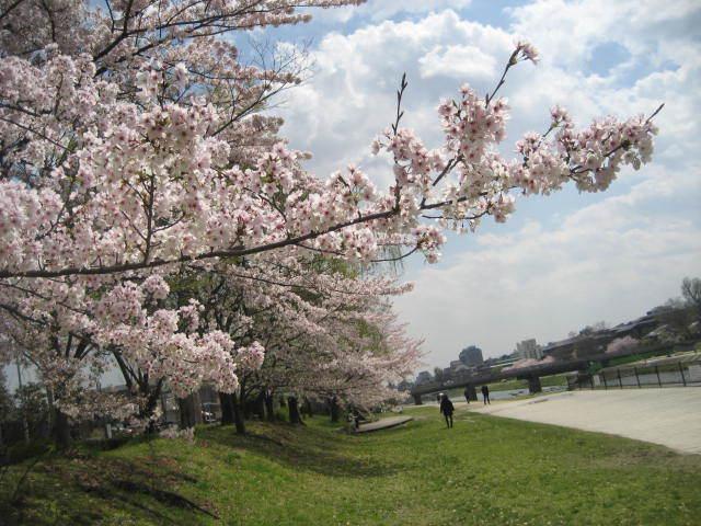 170413鴨川さんぽ㉘桜並木