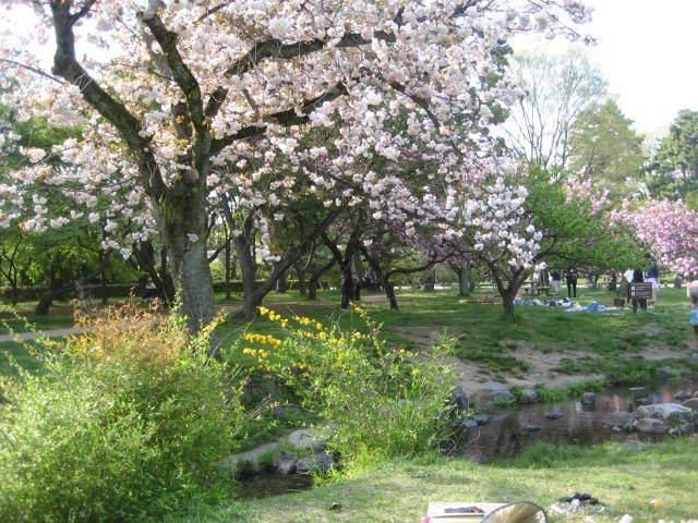 170422御所さんぽ⑤出水の小川の八重桜