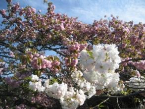 170422御所さbぽ⑦八重桜