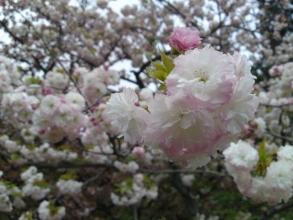 170420御所さんぽ③八重桜