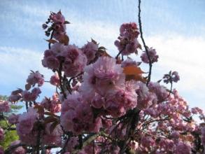 170422御所さんぽ②八重桜