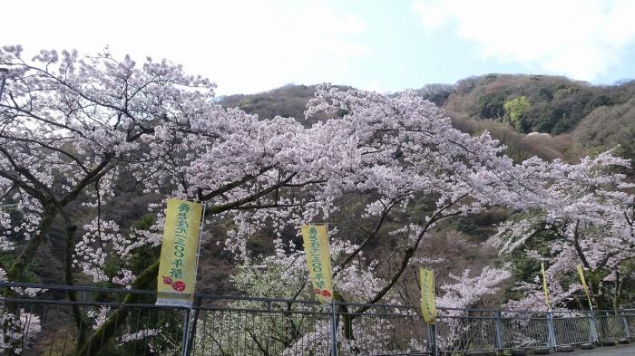 養老の滝と桜 (3)