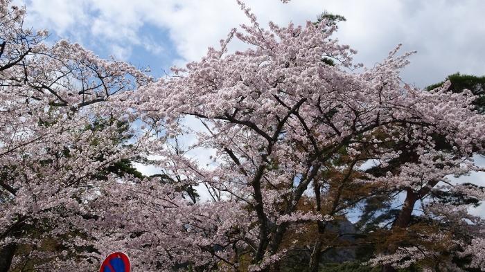 養老の滝と桜 (5)
