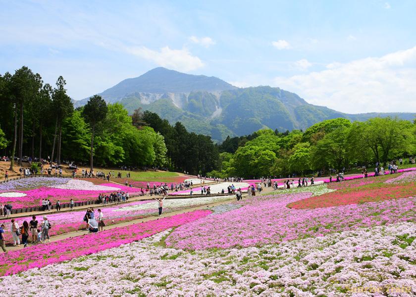 芝桜 秩父