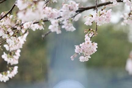 桜 H29年4月10日No3