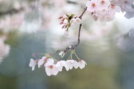 桜 H29年4月10日No4