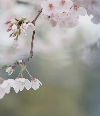 桜 H29年4月10日No5