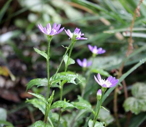 庭の山野草 021-001