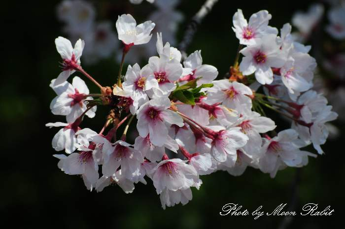 西条高校お堀の桜