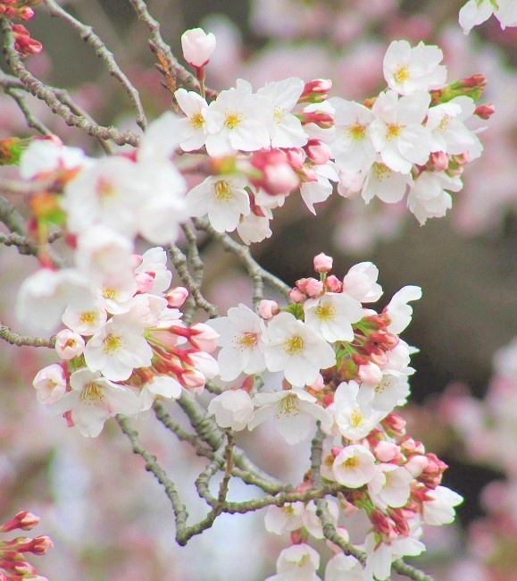 hatogaya170402-109.jpg