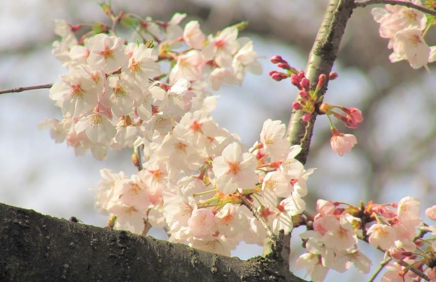 kawagutisakura170402-103.jpg