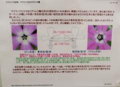 sakurasou170415-202.jpg
