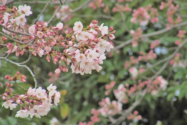 someiyoshino170401-101.jpg