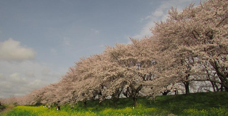yoshimi-sakura170409-103.jpg