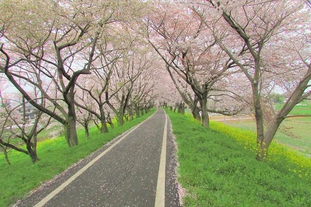 yoshimi-sakura170409-105.jpg