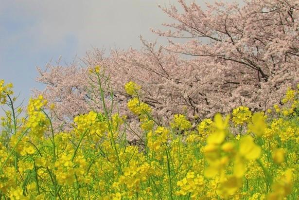 yoshimi-sakura170409-107.jpg