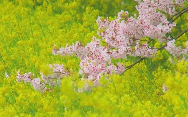 yoshimi-sakura170409-110.jpg