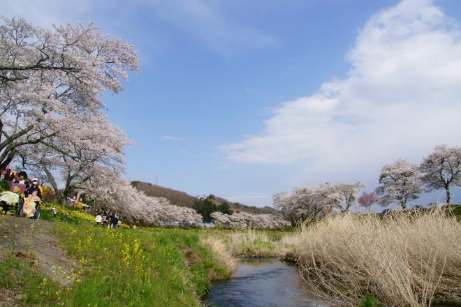 夏井千本桜 ここは満開です。