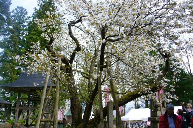 法用寺・虎の尾桜