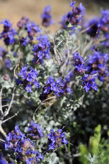blog 12 395S near Olanch, Sage Flats Drive, Desert Sage (Salvia dorrii), CA_DSC2528-4.6.16.(2).jpg