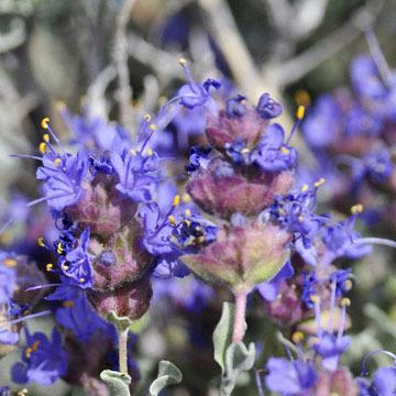 blog 12 395S near Olanch, Sage Flats Drive, Desert Sage (Salvia dorrii), CA 2_DSC2529-4.6.16.(2).jpg