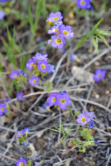 blog 12 395S near Olanch, Sage Flats Drive, Fremont's Phacelia, CA_DSC2476-4.6.16.(2).jpg