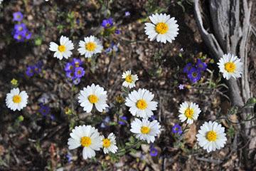 blog 12 395S near Olanch, Sage Flats Drive, Madia & Fremont's Phacelia, CA_DSC2484-4.6.16.(2).jpg