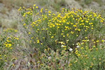 blog 13 Tehachapi Mountains, Fiddleneck, CA_DSC2572-4.7.16.jpg