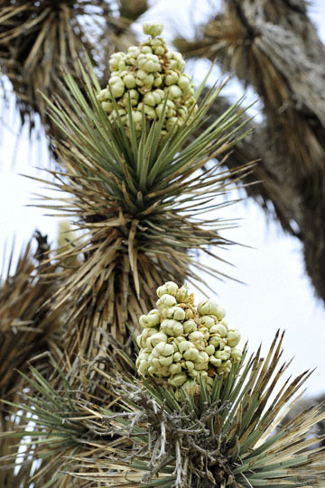 blog 13 Tehachapi Mountains, Yucca, CA_DSC2580-4.7.16.jpg