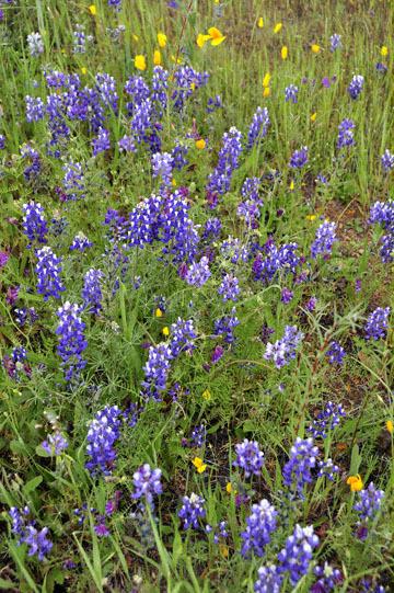 blog 18 Oakdale to Sonora 180E-120E on the way to Yosemite to Don Pedro Reservoir, Miniature Lupine, Vetch & CA Poppy, CA_DSC3677-4.8.16.(5).jpg