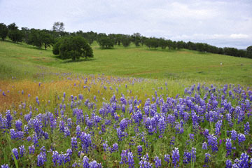 blog 18 Oakdale to Sonora 180E-120E on the way to Yosemite to Don Pedro Reservoir, Miniature Lupine & Oak fields, CA_DSC3723-4.8.16.(5).jpg