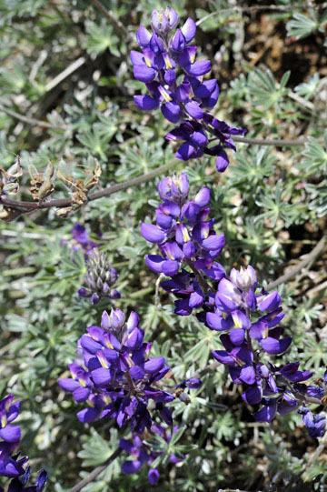 blog 27 130E Mt. Hamilton to Patterson, Lupine (Lupinus formosus)_DSC6251-4.13.16.(2).jpg