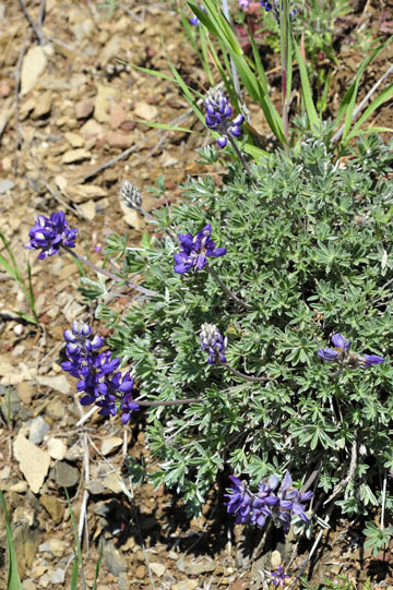 blog 27 130E Mt. Hamilton to Patterson, Lupine (Lupinus formosus)_DSC6249-4.13.16.(2).jpg