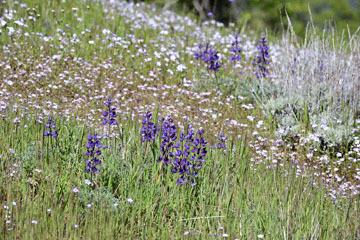 blog 27 130E Mt. Hamilton to Patterson, Lupine & Gilia_DSC6263-4.13.16.(2).jpg