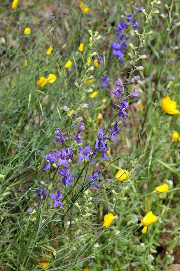 blog 27 130E Mt. Hamilton to Patterson, California Delphinium & Poppy 2_DSC6452-4.13.16.(2).jpg