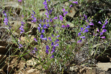blog 28 Bear Valley via Williams, Foothill Penstemon_DSC6471-4.14.16.jpg