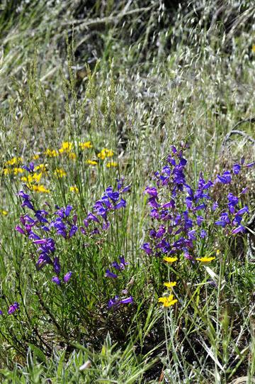 blog 28 Bear Valley via Williams, Foothill Penstemo & Woolly Daisy ? 2_DSC6475-4.14.16.jpg