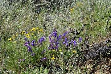 blog 28 Bear Valley via Williams, Foothill Penstemon & Woolly Daisy ?_DSC6474-4.14.16.jpg