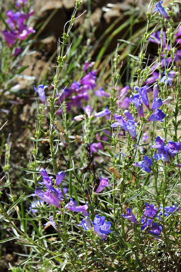 blog 28 Bear Valley via Williams, Foothill Penstemon 2_DSC6482-4.14.16.jpg