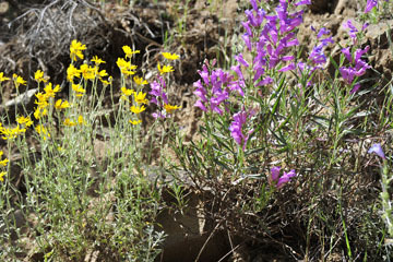 blog 28 Bear Valley via Williams, Foothill Penstemon & Common Woolly Sunflower_DSC6481-4.14.16.jpg