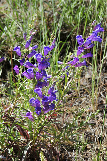 blog 28 Bear Valley via Williams, Foothill Penstemon 2_DSC6479-4.14.16.jpg
