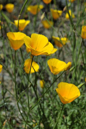 blog 28 Bear Valley via Williams, California Poppy 2_DSC6498-4.14.16.jpg